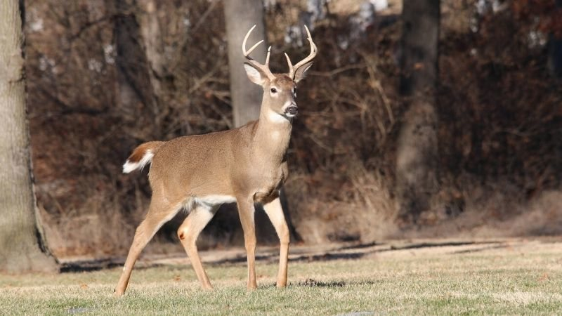 How to Hunt Whitetail Deer